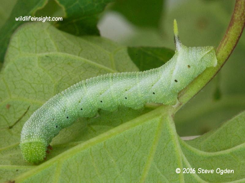 Convolvulus Hawkmoth caterpillar 19mm © 2016 Steve Ogden