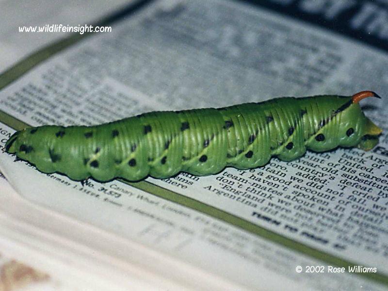 Convolvulus Hawkmoth (Agrius convolvuli) caterpillar Perranporth Cornwall UK© 2002 Rose Williams