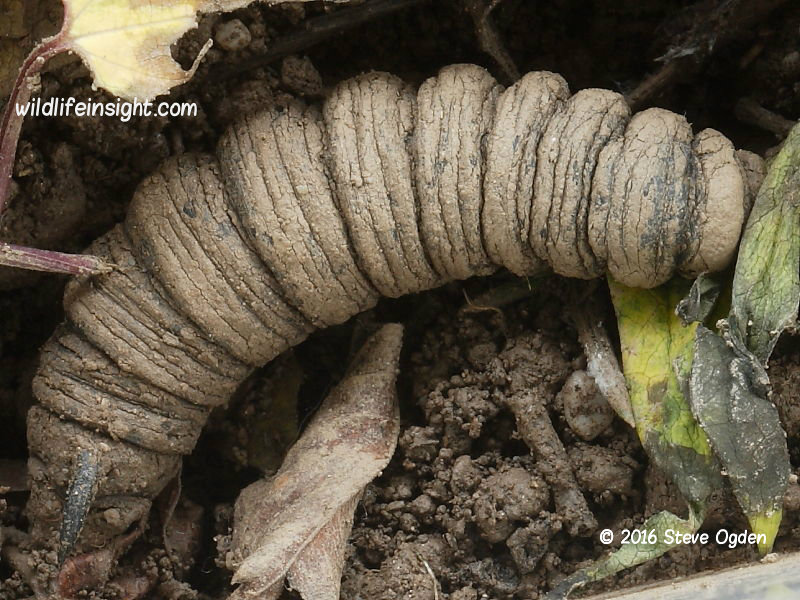 Convolvulus Hawkmoth caterpillar pupating in soil © 2016 Steve Ogden