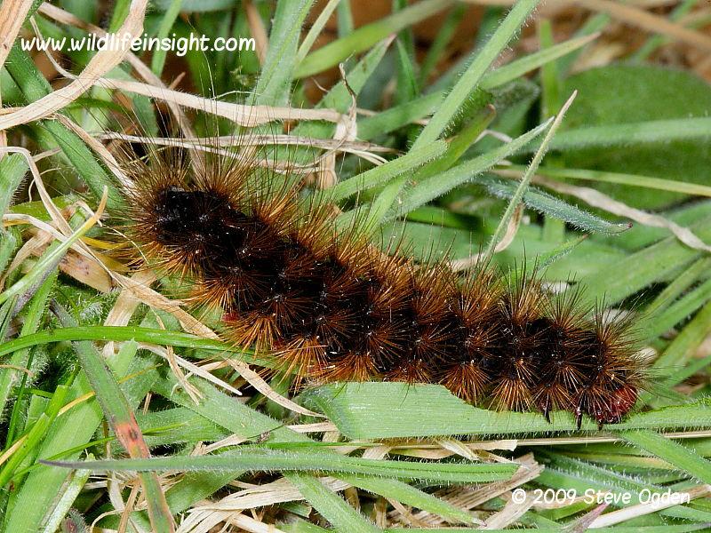 Cream-spot Tiger caterpillar (Arctia villica) © 2009 Steve Ogden