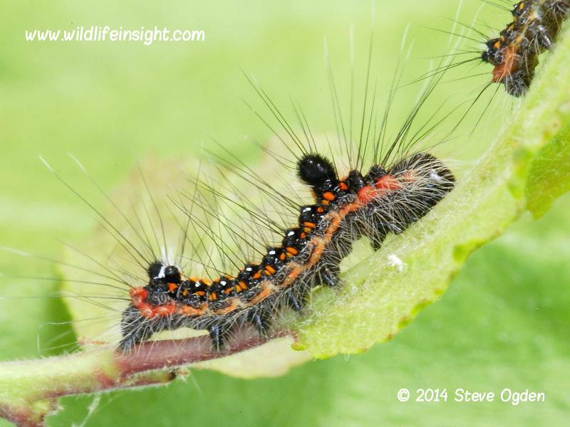 Dark Dagger 13mm larva (Acronicta tridens) © 2014 Steve Ogden