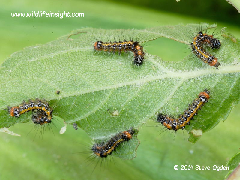 Dark Dagger 7mm larvae (Acronicta tridens) © 2014 Steve Ogden