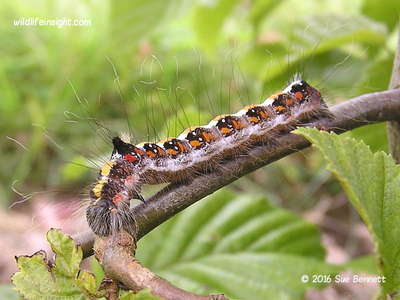 Dark Dagger caterpillar (Acronicta tridens) photo Sue Bennett