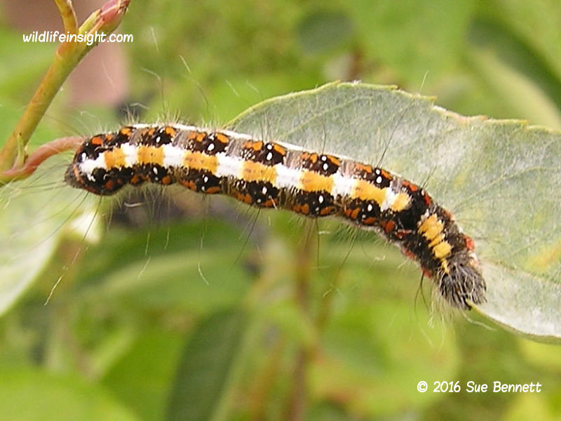 Dark Dagger caterpillar photo Sue Bennett