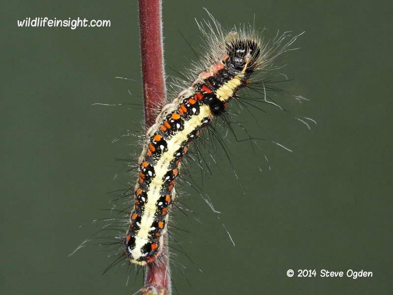 Dark Dagger moth fully grown 35mm caterpillar Acronicta tridens © 2014 Steve Ogden