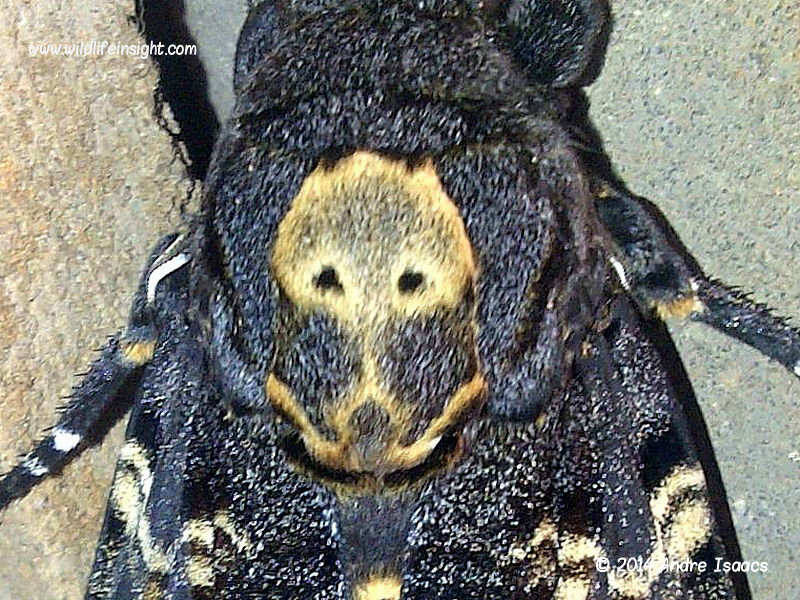Head of Death's Head Hawkmoth recorded by Andre Isaacs in Durban, South Africa