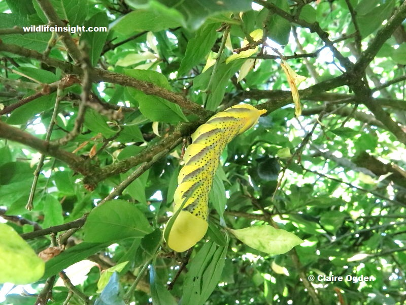 Death's Head Hawkmoth caterpillar feeding on Spindle Tree leaves in a Cornish garden photo Claire Ogden.