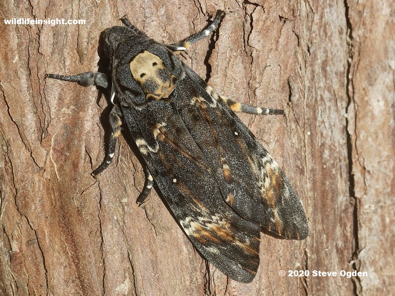 Death's Head Hawkmoth photo Steve Ogden