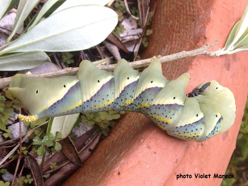 Death's Head Hawkmoth caterpillar, Acherontia atropos, on Olive tree Isle of Wight photo Violet Mareck