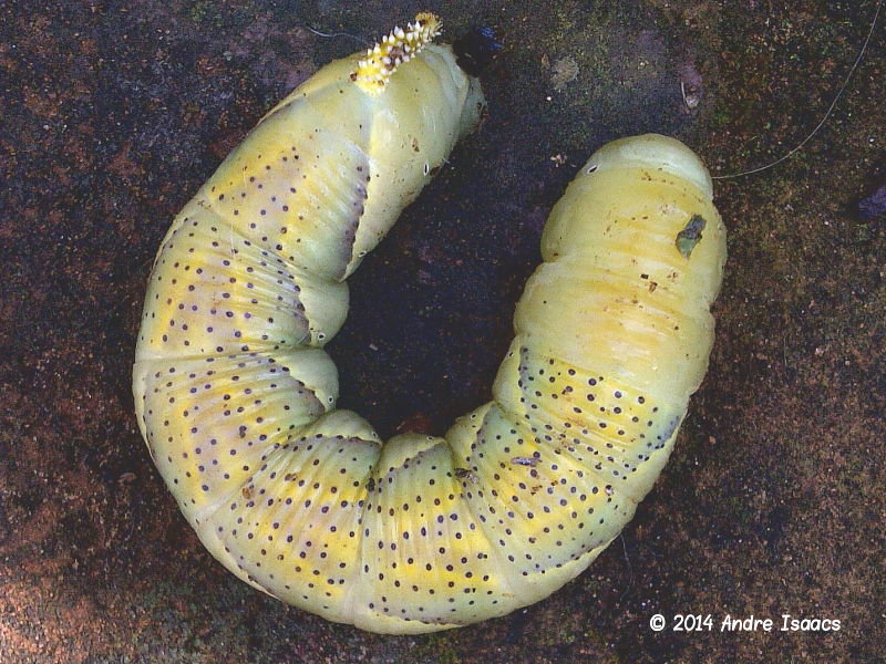 Prepupating Death's-head Hawkmoth caterpillar recorded by Andre Isaacs in Durban, South Africa