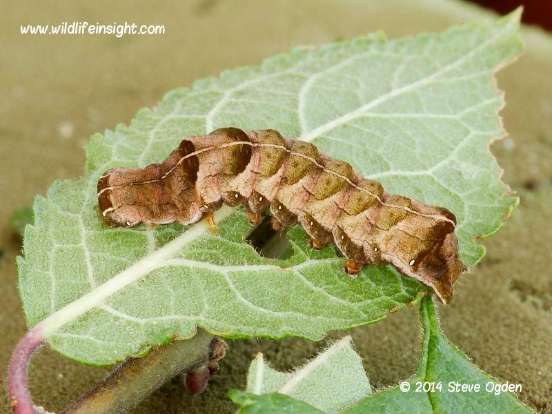 Dot moth caterpillar being moved on leaf © 2014 Steve Ogden