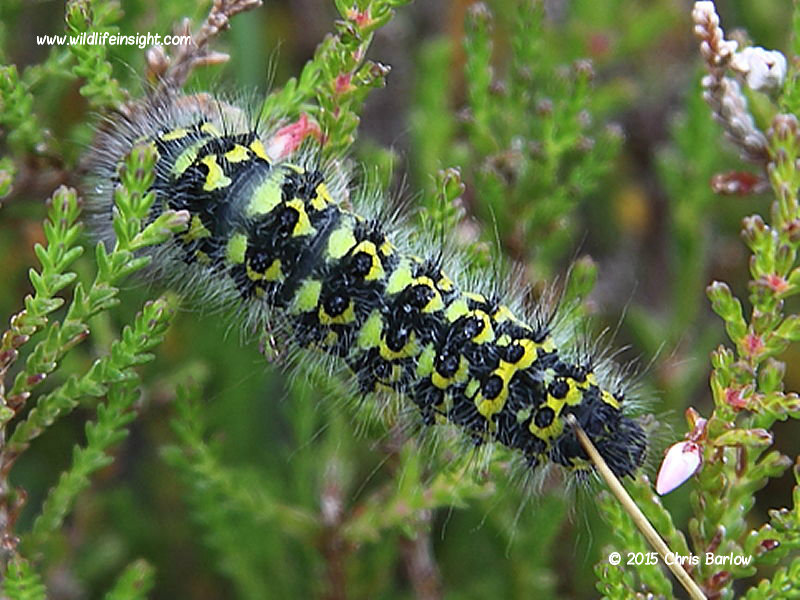 Emperor moth caterpillar 15th August West Scotland near Dundonnell © 2015 Chris Barlow