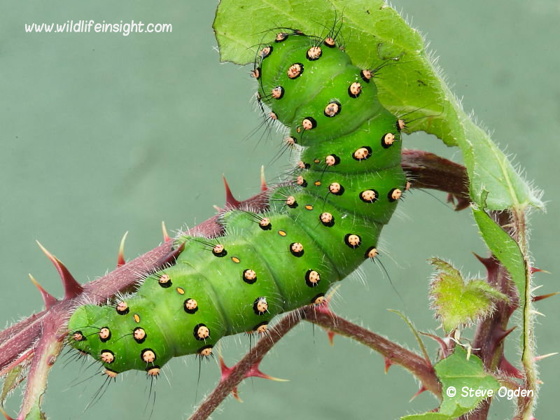 Emperor moth caterpillar fully grow 65mm Saturnia pavonia feeding on bramble  © 2014 Steve