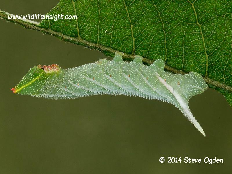 Eyed Hawkmoth Smerinthus ocellata larva 20mm © 2014 Steve Ogden