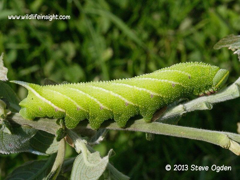 Eyed Hawkmoth 70mm fully grown caterpillar (Smerinthus ocellata) © 2013 Steve Ogden