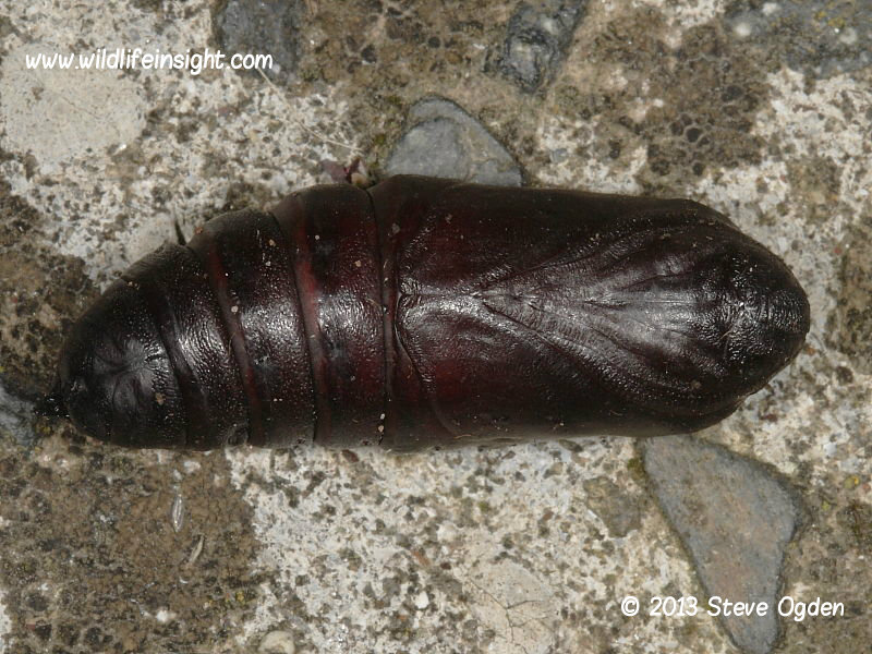 Eyed Hawkmoth pupa unearthed © 2013 Steve Ogden