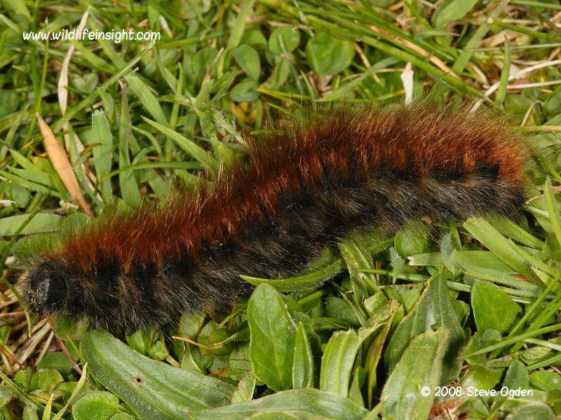 Fox Moth (Macrothylacia rubi) over wintered final instar caterpillar © 2008 Steve Ogden