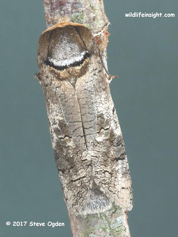 Goat Moth (Cossus cossus) © 2017 Steve Ogden