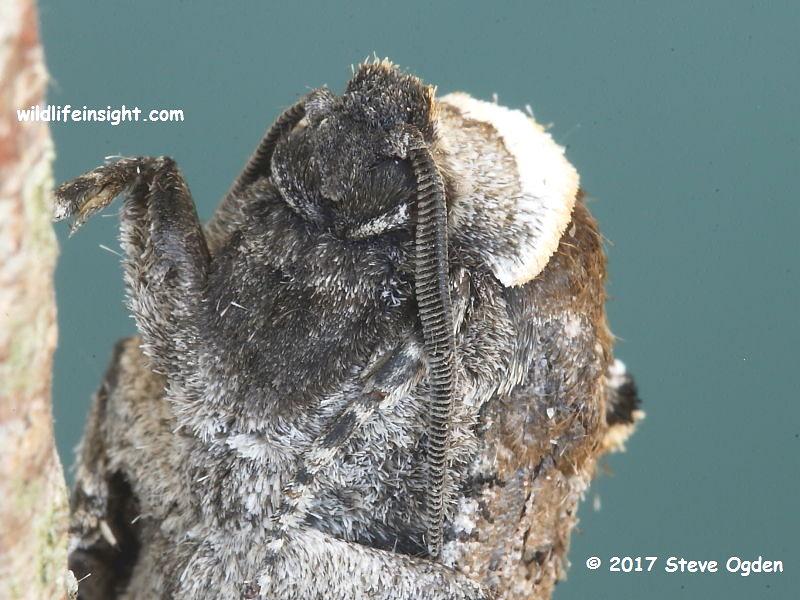 Head of Goat Moth (Cossus cossus) © 2017 Steve Ogden