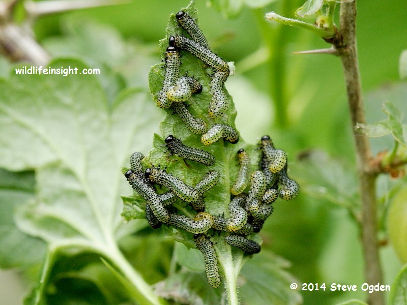 Goosberry Sawfly larvae © 2014 Steve Ogden