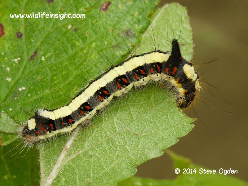 Grey Dagger 30mm larva (Acronicta psi) © 2014 Steve Ogden