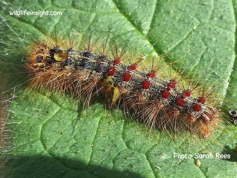 Gypsy Moth caterpillar (Lymantria dispar) London garden photo Sarah Rees