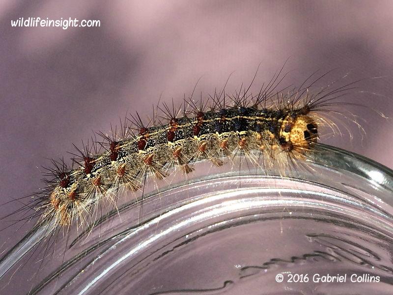 Gypsy moth caterpillar (Lymantria dispar) London photo Gabriel Collins