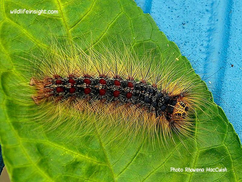 Gypsy moth caterpillar (Lymantria dispar) London garden photo Rhowena MacCuish