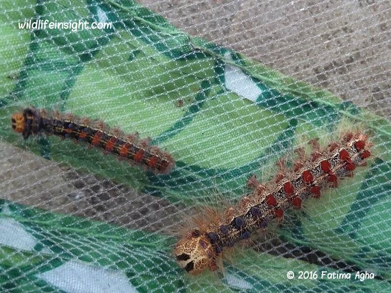 Gypsy moth caterpillars (Lymantria dispar) Sutton London photo Fatima Agha