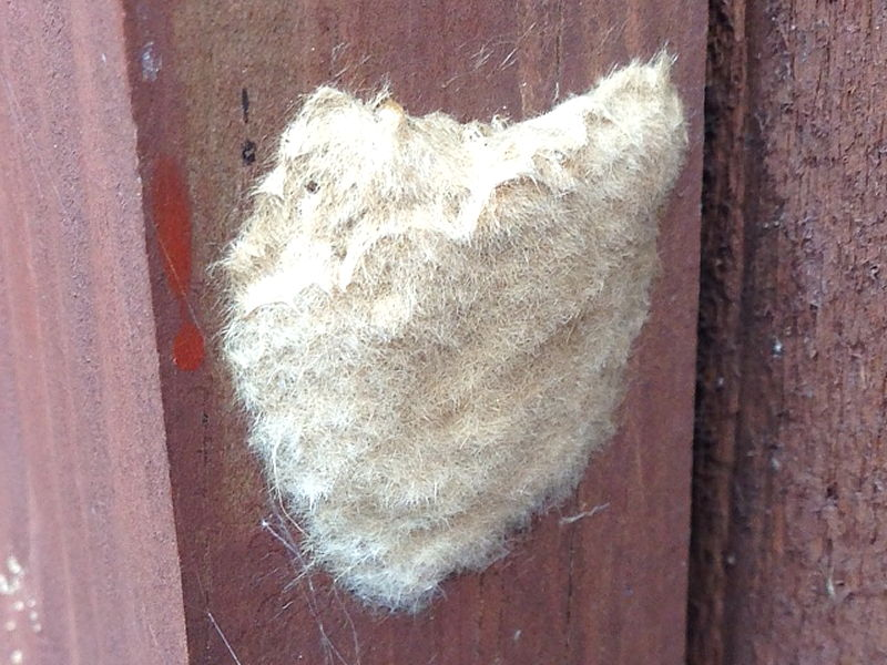 Gypsy moth eggs (Lymantria dispar) © 2015 Marie Lewis