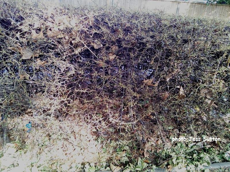 Gypsy moth larvae (Lymantria dispar) defoliated Pyracantha hedge Hammersmith, London UK photo Jess Sutton