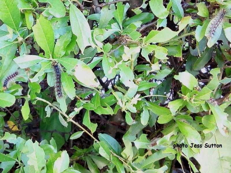 Gypsy moth larvae (Lymantria dispar) feeding on Pyracantha hedging Hammersmith, London UK photo Jess Sutton