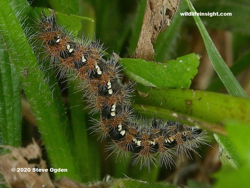 Over wintered half grown Jersey Tiger Moth caterpillar