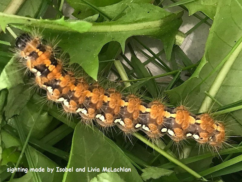 Jersey Tiger moth caterpillar (Euplagia quadripunctaria) sighting Isobel and Livia McLachlan