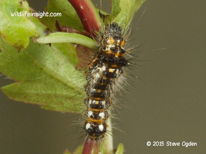 Knot Grass 12mm larva  (Acronicta rumicis) © 2015 Steve Ogden