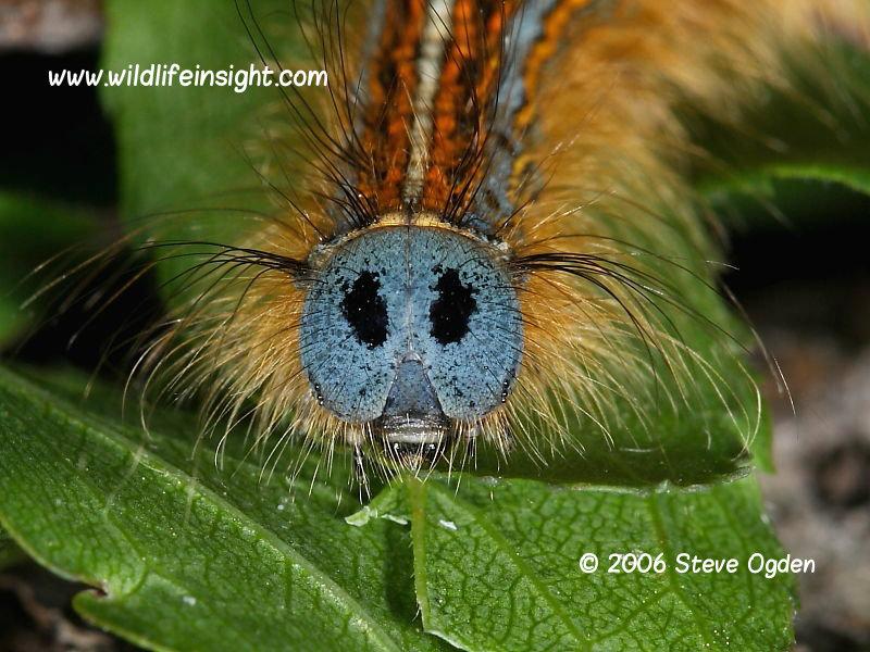 Head of Lackey moth caterpillar © 2006 Steve Ogden