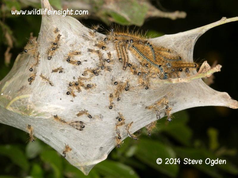 Lackey caterpillar silk web  © 2014 Steve Ogden