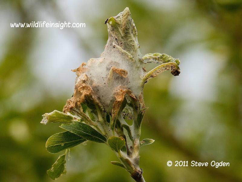 Lackey caterpillar web in willow tree © 2011 Steve Ogden