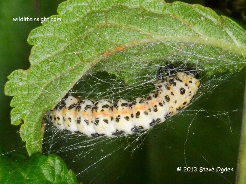 Magpie Moth caterpillar pupating (Abraxas grossulariata) © 2013 Steve Ogden