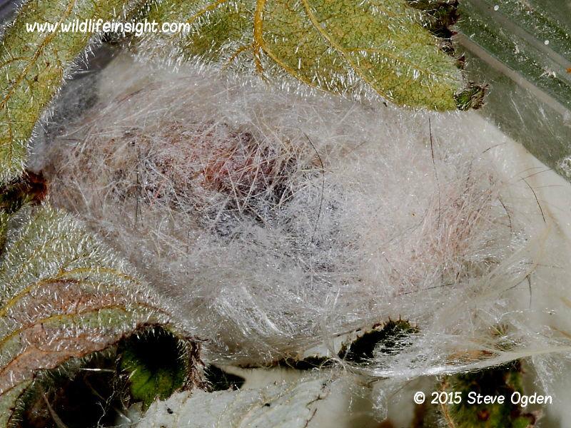 Pale Tussock cocoon  (Calliteara pudibunda)