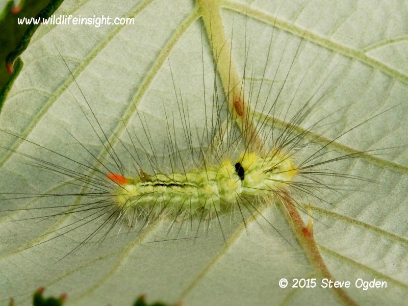 Pale Tussock 10mm larva  (Calliteara pudibunda)