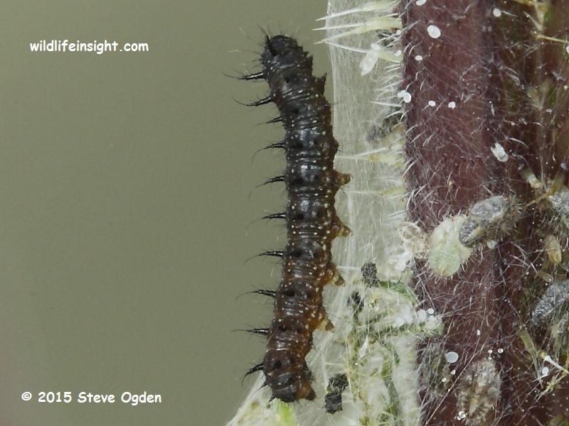 Peacock Butterfly caterpillar 10 mm (Inachis io) © 2015 Steve Ogden
