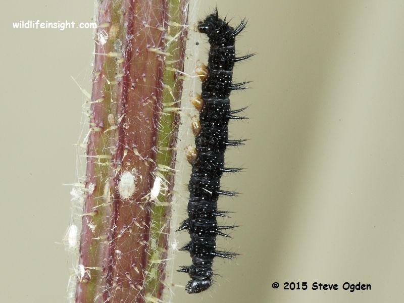 Peacock Butterfly caterpillar 25mm (Inachis io) © 2015 Steve Ogden