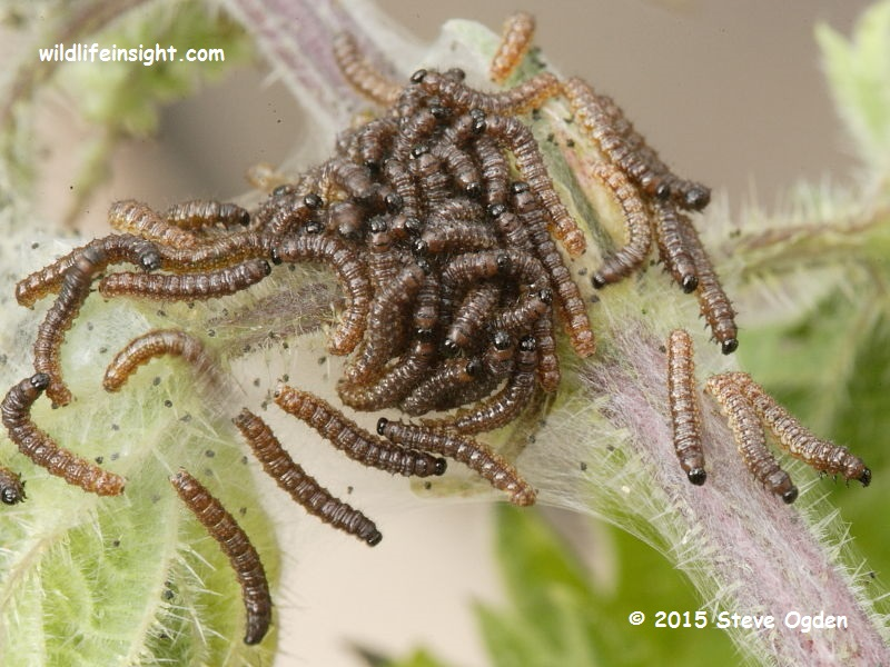 Peacock Butterfly caterpillars 7mm (Inachis io) © 2015 Steve Ogden
