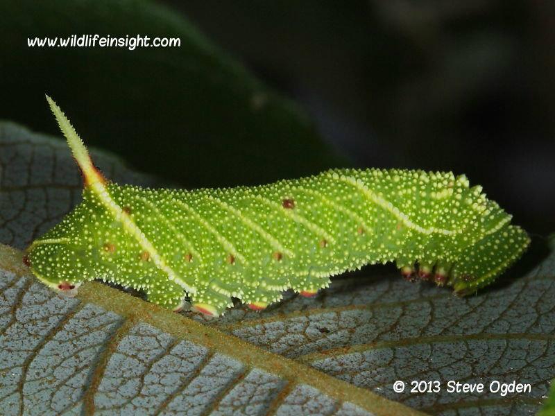 Poplar Hawkmoth  20mm larva Laothoe populi
