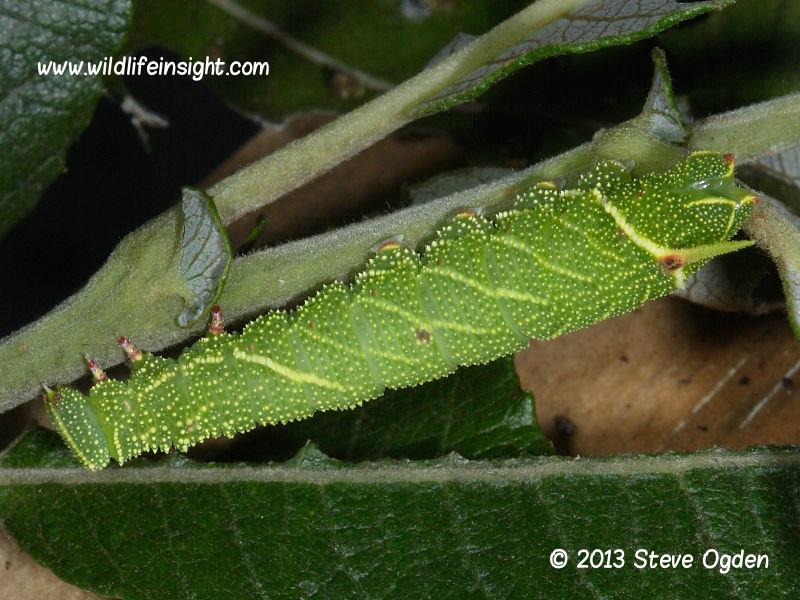 Poplar Hawkmoth  20mm larva Laothoe populi © 2013 Steve Ogden