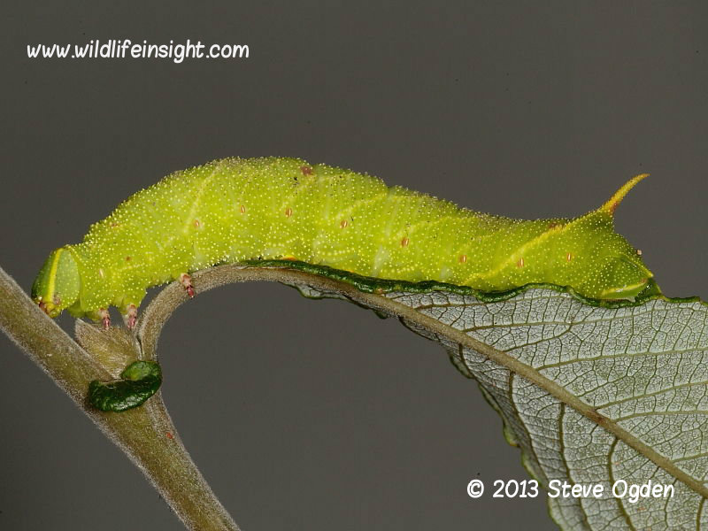 Poplar Hawkmoth Laothoe populi fully grown larva 55mm © 2013 Steve Ogden