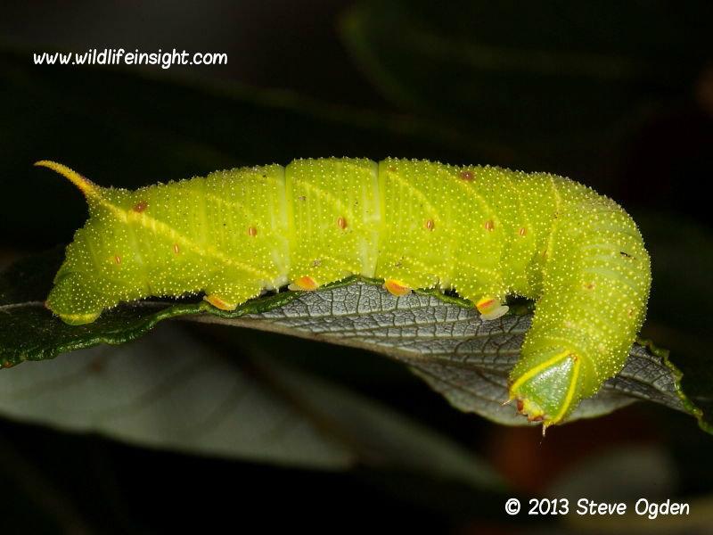 Poplar Hawkmoth Laothoe populi fully grown larva © 2013 Steve Ogden
