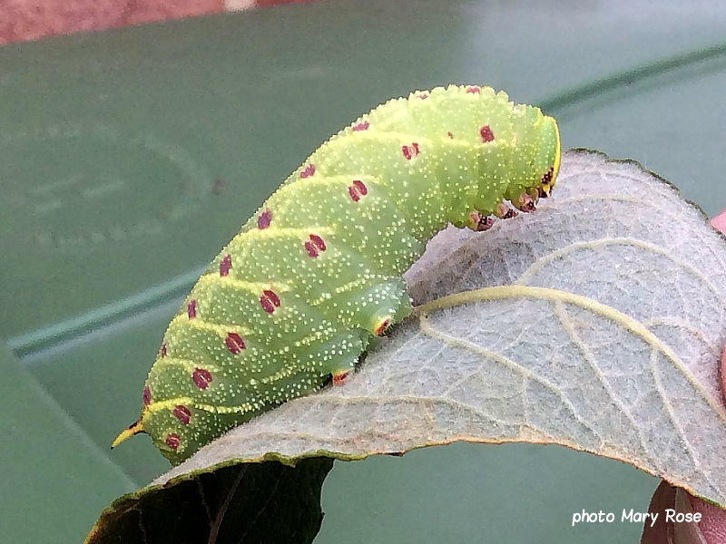 Poplar Hawkmoth fully grown caterpillar Laothoe populi Uk photo Mary Rose