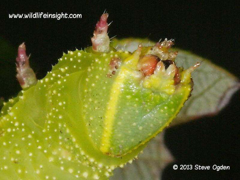 Poplar Hawkmoth caterpillar head © 2013 Steve Ogden
